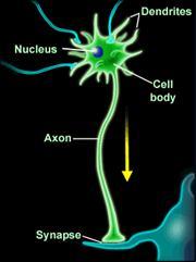Pronađeni novi putevi reparacije neurona Biologija