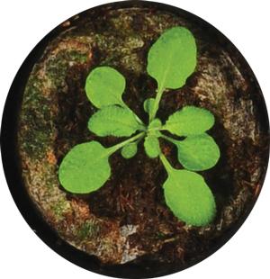 Otkriven molekularni prekidač za stimulaciju rasta biljnih listova Biologija