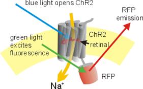 Kontrola mozga pomoću svjetlosti? Biologija