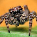 Paukovi – najproždrljiviji predatori na svijetu