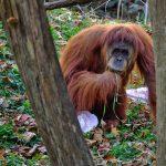 Orangutani koriste ljekovita svojstva biljke da ublaže bol