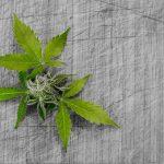 FDA odobrava prvi lijek iz marihuane
