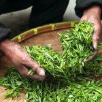 Molekuli zelenog čaja mogu spriječiti srčani udar