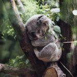 Koale bi mogle izumrijeti