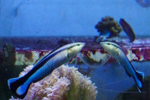 Mala riba se može prepoznati u ogledalu
